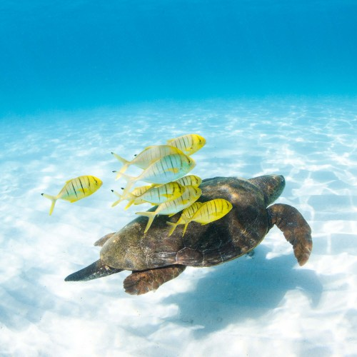A turtle and school of fish